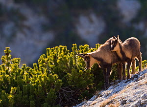 Apennine chamois (Rupicapra pyrenaica ornata) female with kid. Endemic to the Apennine mountains. Abruzzo, Italy, November.  -  Bruno D'Amicis