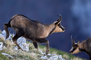 Apennine chamois (Rupicapra pyrenaica ornata) adult male approaching female during the rut season. Endemic to the Apennine mountains. Abruzzo, Italy, November. - Bruno D'Amicis