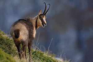 Apennine chamois (Rupicapra pyrenaica ornata) adult male grunting during the rut. Endemic to the Apennine mountains. Abruzzo, Italy, November.  -  Bruno D'Amicis