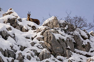 Apennine chamois (Rupicapra pyrenaica ornata) adult male in snowy mountain habitat. Endemic to the Apennine mountains. Abruzzo, Italy, January. - Bruno D'Amicis