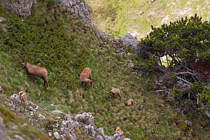 Apennine chamois (Rupicapra pyrenaica ornata) females with newborn kids in mountain habitat with Dwarf pine (Pinus mugo) shrubland. Endemic to the Apennine mountains. Abruzzo, Italy, June.  -  Bruno D'Amicis