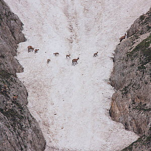 Apennine chamois (Rupicapra pyrenaica ornata) females and kids crossing a snowy field. Endemic to the Apennine mountains. Abruzzo, Italy, June. - Bruno D'Amicis