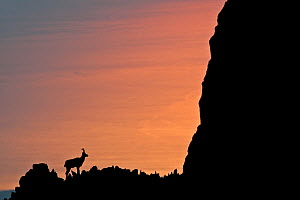 Apennine chamois (Rupicapra pyrenaica ornata) silhouetted against the waters of Adriatic Sea at sunrise. Endemic to the Apennine mountains. Majella National Park. Abruzzo, Italy, July. - Bruno D'Amicis