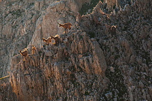 Apennine chamois (Rupicapra pyrenaica ornata) females and kids resting on rocky slope. Endemic to the Apennine mountains. Abruzzo, Italy, July. - Bruno D'Amicis