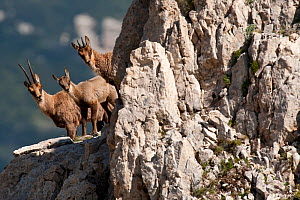 Alerted Apennine chamois (Rupicapra pyrenaica ornata) adult female, kid and yearling (from left to right) looking from behind rock. Endemic to the Apennine mountains. Abruzzo, Italy, July. - Bruno D'Amicis