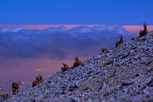 Apennine chamois (Rupicapra pyrenaica ornata) herd resting on altitude plateau of Majella Massif, in moonlight with distant urban lights in the background. Endemic to the Apennine mountains. Majella N...  -  Bruno D'Amicis