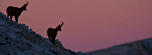 Apennine chamois (Rupicapra pyrenaica ornata) adult males silhouetted against pink dawn sky. Endemic to the Apennine mountains. Abruzzo, Italy, September. - Bruno D'Amicis