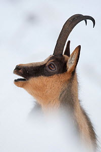Apennine chamois (Rupicapra pyrenaica ornata) adult male portrait grunting during the rut. Endemic to the Apennine mountains. Abruzzo, Italy, November. - Bruno D'Amicis