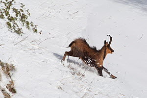 Apennine chamois (Rupicapra pyrenaica ornata) adult male running in snow. Endemic to the Apennine mountains. Abruzzo, Italy, November. - Bruno D'Amicis