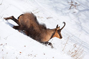 Apennine chamois (Rupicapra pyrenaica ornata) adult male slipping in snow. Endemic to the Apennine mountains. Abruzzo, Italy, November.  -  Bruno D'Amicis