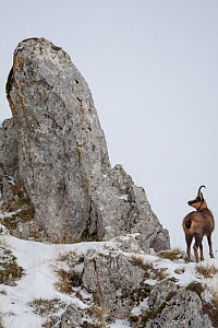Apennine chamois (Rupicapra pyrenaica ornata) adult male in snowy mountain habitat. Endemic to the Apennine mountains. Abruzzo, Italy, November.  -  Bruno D'Amicis