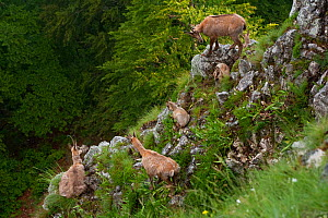 Apennine chamois (Rupicapra pyrenaica ornata) females with kids. Endemic to the Apennine mountains. Abruzzo, Italy, June. - Bruno D'Amicis