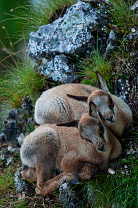 Apennine chamois (Rupicapra pyrenaica ornata) kids on a mountain meadow resting next to each other to keep warm. Endemic to the Apennine mountains. Abruzzo, Italy, June. - Bruno D'Amicis