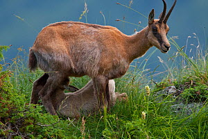 Apennine chamois (Rupicapra pyrenaica ornata) adult female nursing her kid. Endemic to the Apennine mountains. Abruzzo, Italy, July. - Bruno D'Amicis