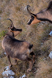 Apennine chamois (Rupicapra pyrenaica ornata) adult male approaching female. Endemic to the Apennine mountains. Abruzzo, Italy, November. - Bruno D'Amicis