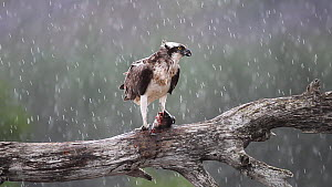Osprey (Pandion haliaetus) feeding on a fish in heavy rain, Cairngorms National Park, Scotland, UK, July.  -  Peter  Cairns / 2020VISION
