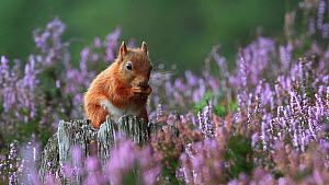 Red squirrel (Sciurus vulgaris) feeding amongst flowering heather, Cairngorms National Park, Scotland, UK, October. - Peter  Cairns / 2020VISION