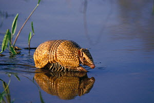 Southern three banded armadillo (Tolypeutes matacus) walking through shallow water, Pantanal, Caceres, Mato Grosso State, Brazil.  -  Luiz Claudio Marigo