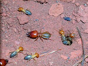 Neotropical mound building termites (Cornitermes cumulans) on ground, a soldier and several workers, some climbing out of hole, Emas National Park, Cerrado region, near Mineiros, Central Brazil.  -  Luiz Claudio Marigo