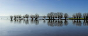 Panorama of flooded fields with row of inundated willow trees on West Sedgemoor near Stoke St Gregory, Somerset Levels, Somerset, UK. Digital composite. January 2014 - John Waters