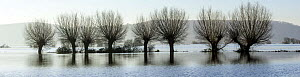 Panorama willow trees in flood water over the fields of West Sedgemoor near Stoke St Gregory, Somerset Levels, Somerset, UK. January 2014. Digital composite, larger file available. - John Waters