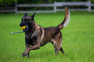 Young Belgian Shepherd police dog playing, Germany, July.  -  Florian Möllers