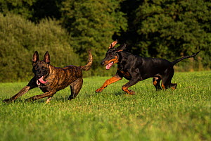 Dutch shepherd and Malinois herder cross breed dog playing with Doberman, Germany, September. - Florian Möllers