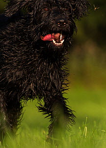 Giant Schnauzer x Hovawart crossbreed puppy with toy, Germany, September. - Florian Möllers