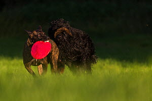 Dutch shepherd and Malinois herder cross playing with Giant Schnauzer and Hovawart cross dog, Germany, September. - Florian Möllers