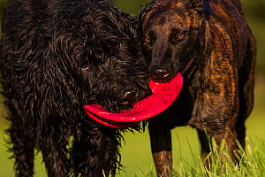 Giant Schnauzer x Hovawart dog and Maliois Herder x Dutch shepherd playing tug of war with Frisbee, Germany, September. - Florian Möllers