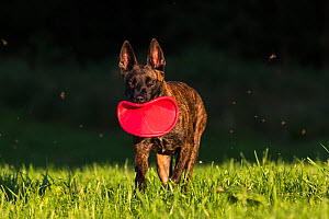 Dutch shepherd and Malinois Herder crossbreed playing with frisbee, Germany, September.  -  Florian Möllers