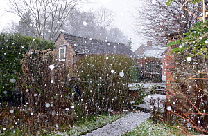 Large hail stones falling during a storm, Herefordshire, England, UK, December. - Will Watson