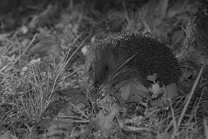 Hedgehog (Erinaceus europaeus) at night, taken with infra red remote camera trap, Mayenne, Pays de Loire, France, April.  -  Eric  Medard