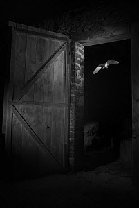 Barn owl (Tyto alba) flying through barn door at night, taken with infra red remote camera trap, Mayenne, Pays de Loire, France, November. - Eric  Medard