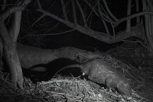 Coypu (Myocastor coypus) at night,  taken with infra red remote camera trap,, France, January. - Eric  Medard