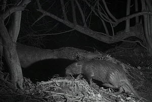 Coypu (Myocastor coypus) at night,  taken with infra red remote camera trap, France, January. - Eric  Medard
