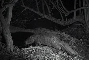 Coypu (Myocastor coypus) at night  taken with infra red remote camera trap, France, January. - Eric  Medard