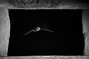 Pipistrelle bat (Pipistrellus pipistrellus) flying through window, taken at night with infra-red remote camera trap, Mayenne, Pays de Loire, France, August.  -  Eric  Medard