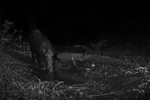 Wild Boar (Sus scrofa) taken at night with infra red remote camera trap, Mayenne, Pays de Loire, France.  -  Eric  Medard