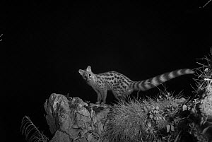 European genet (Genetta genetta) taken at night, Ariege, France, May. - Eric  Medard