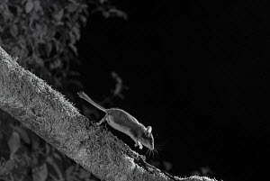 Dormouse (Eliomys quercinus) taken at night with infra-red remote camera trap, France, July.  -  Eric  Medard
