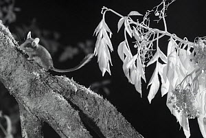 Dormouse (Eliomys quercinus) taken at night with infra red remote camera trap, France, July.  -  Eric  Medard
