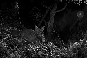 Red fox (Vulpes vulpes) with dead feral kitten prey, taken at night with infra red remote camera trap, Mayenne, Pays de Loire, France, July.  -  Eric  Medard