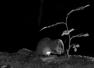 Edible dormouse (Glis glis) feeding at night, taken with infra-red remote camera trap, Slovenia  -  Eric  Medard