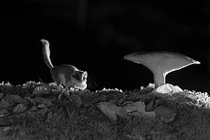 Forest dormouse (Dryomys nitedula) carrying bait (pear) next to mushroom, at night, taken with infra red remote camera trap, Slovenia, October.  -  Eric  Medard