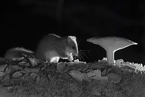 Forest dormouse (Dryomys nitedula) feeding on bait (pear) next to mushroom, at night, taken with infra red remote camera trap, Slovenia, October.  -  Eric  Medard