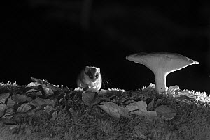 Forest dormouse (Dryomys nitedula) feeding on bait (pear) next to mushroom at night, taken with infra red remote camera trap, Slovenia, October.  -  Eric  Medard
