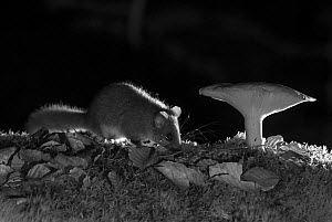 Edible dormouse (Glis glis) and mushroom at night, taken with infra red remote camera trap, Slovenia, October.  -  Eric  Medard