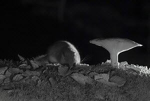 Forest dormouse (Dryomys nitedula) and mushroom at night, taken with infra red remote camera trap, Slovenia, October.  -  Eric  Medard