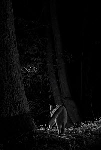 Feral cat (Felis catus) at night, taken with infra-red remote camera trap, France, November. - Eric  Medard
